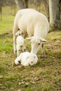 ©shani studios lambs with ewe